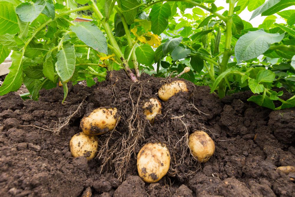 Hvornår høster man kartofler